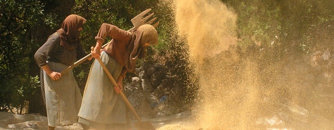 Lentil harvest